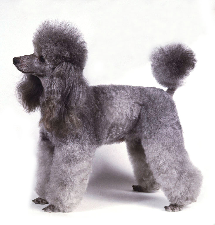 caracteristicas-do-poodle-fotos-2.jpg